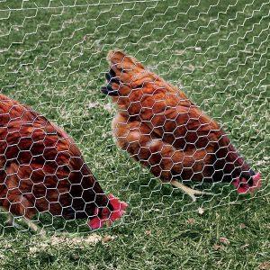 توری-مرغی